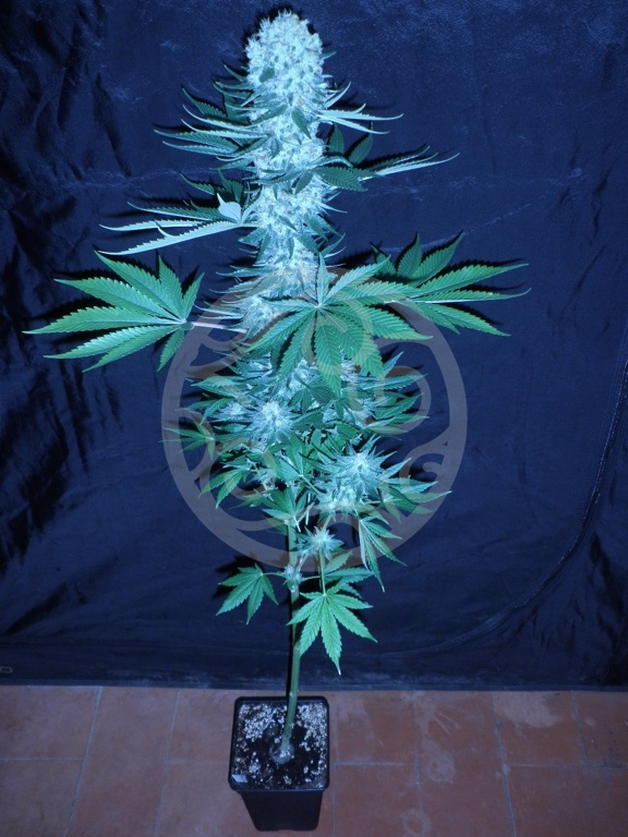 Co2 Essential For Marijuana Growing Blog Philosopher Seeds