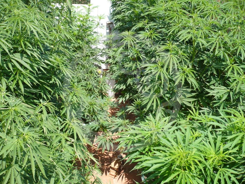 Culture exterieur du cannabis top cette plante de for Weed plantation exterieur