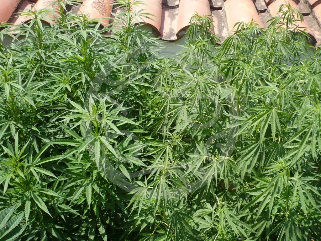 Cultiver du cannabis en ext rieur blog philosopher seeds for Meilleur engrais pour cannabis exterieur