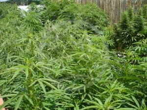 Plantes exubérantes de cannabis