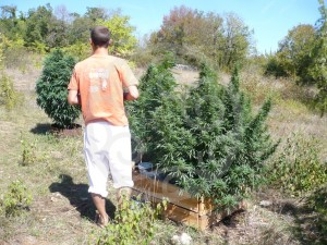 A stroll along the cannabis garden