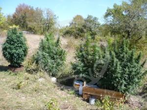 Différentes formes de plantes de marijuana