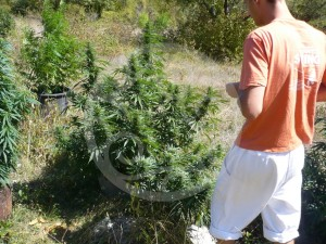 Inspection des plantes de cannabis