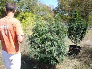 Philosopher Seeds organic growing outdoors