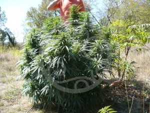 Compact marijuana plant outdoors
