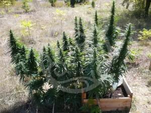 Plante de cannabis en floraison