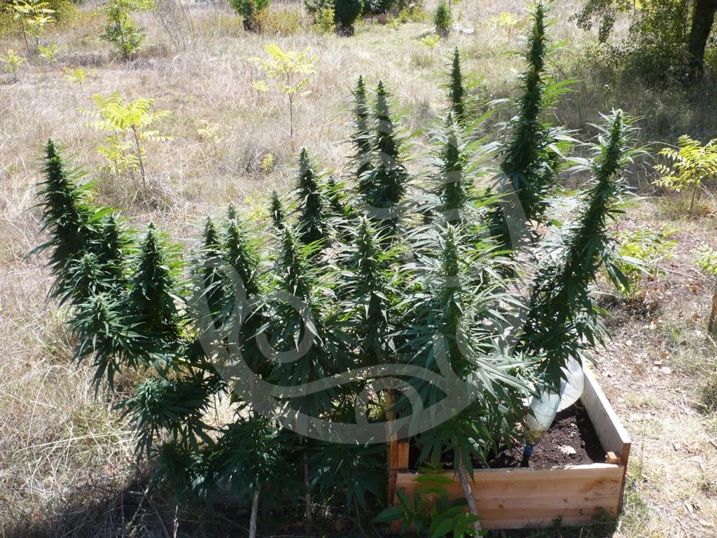Cultiver du cannabis en ext rieur blog philosopher seeds for Plant de cannabis exterieur
