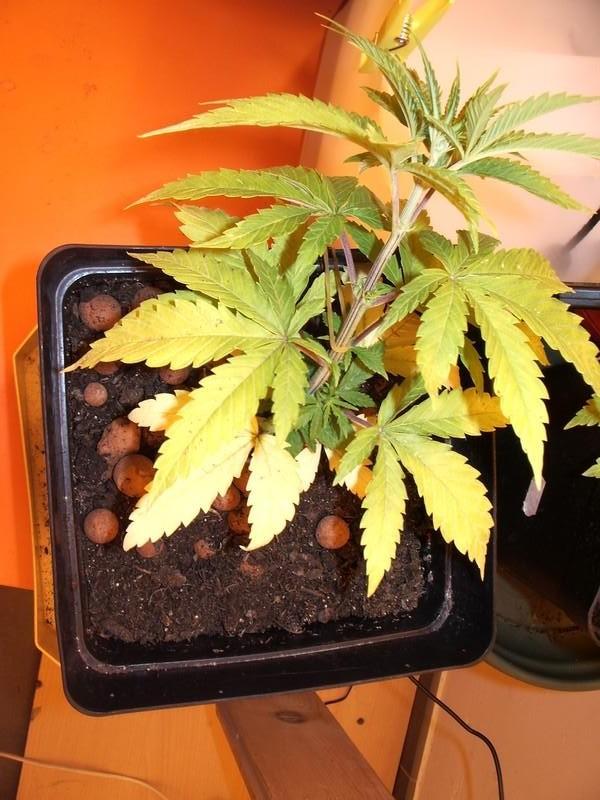 como regar plantas de marihuana en tierra | blog de philosopher seeds
