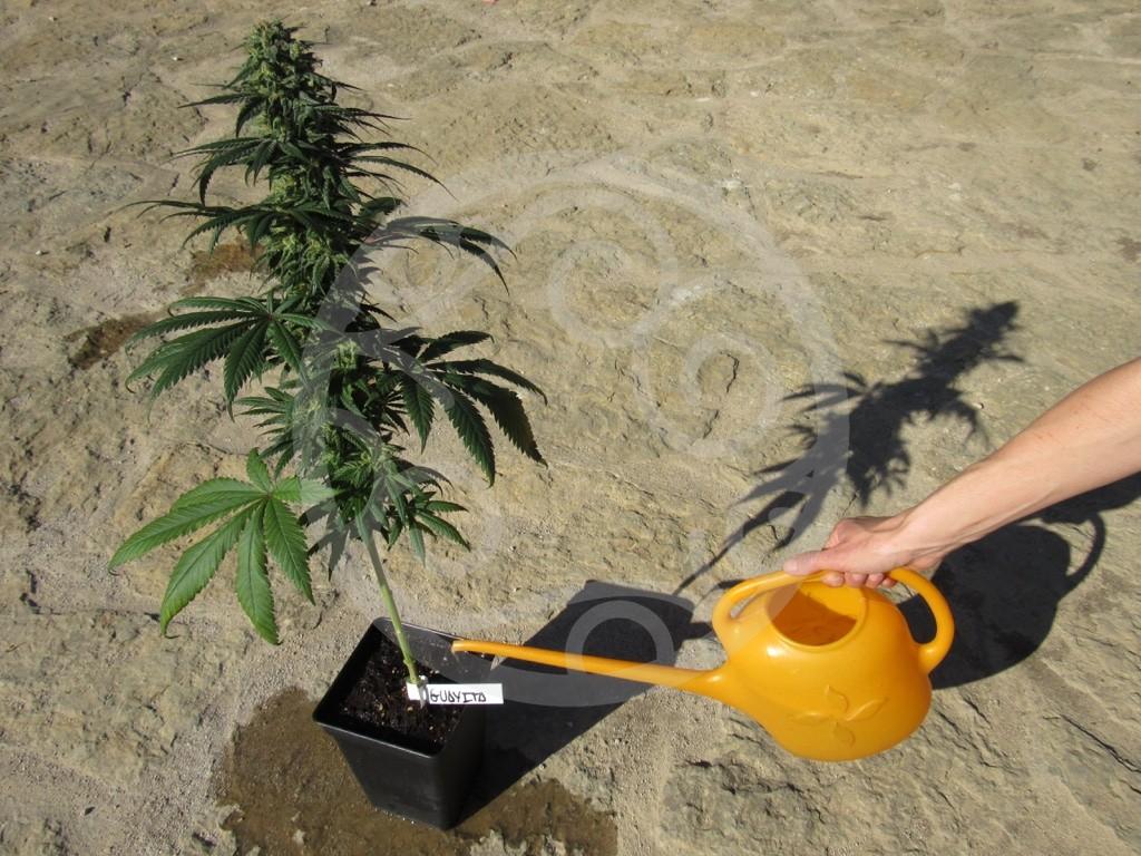 Terriccio Non Assorbe Acqua come irrigare piante di marijuana in terra | blog