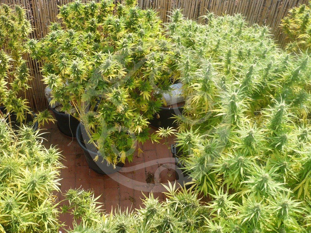 how to tell if your weed is properly decarbed