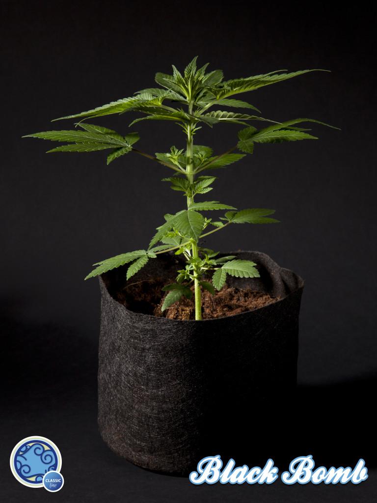 Plantes De Cannabis En Croissance Blog Philosopher Seeds