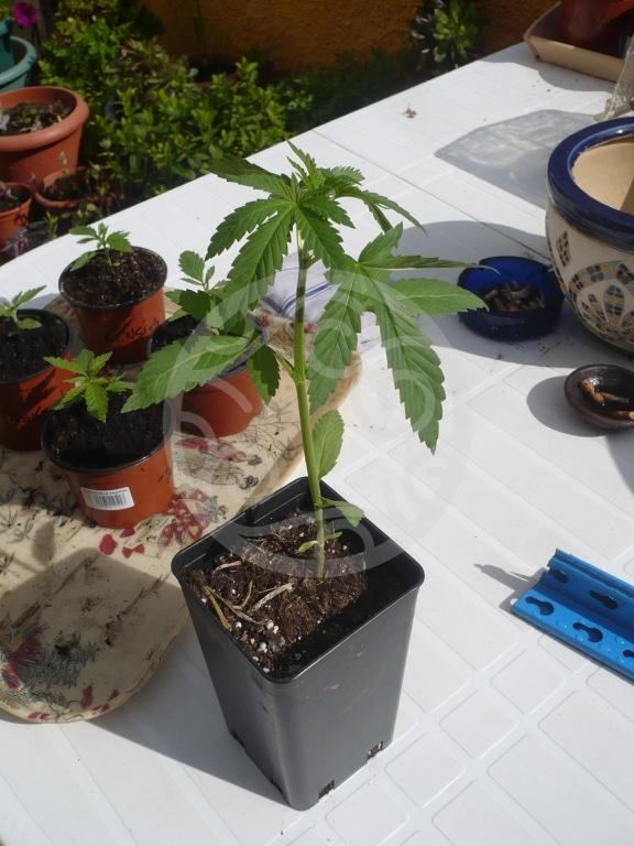 comment rempoter vos plantes de cannabis blog philosopher seeds. Black Bedroom Furniture Sets. Home Design Ideas