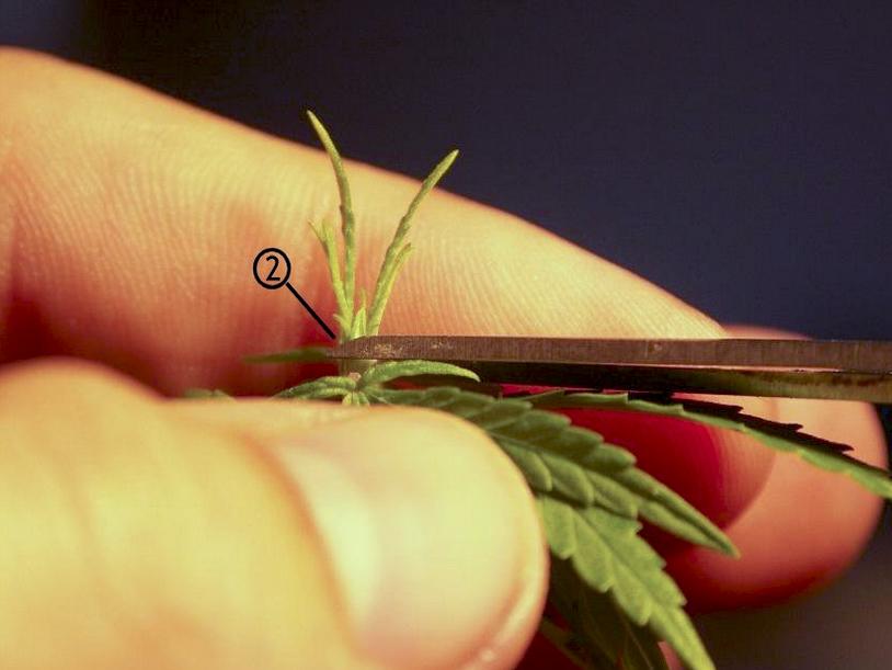Técnicas de poda para Marihuana