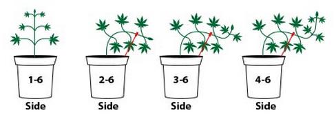 Risultati immagini per lst coltivazione