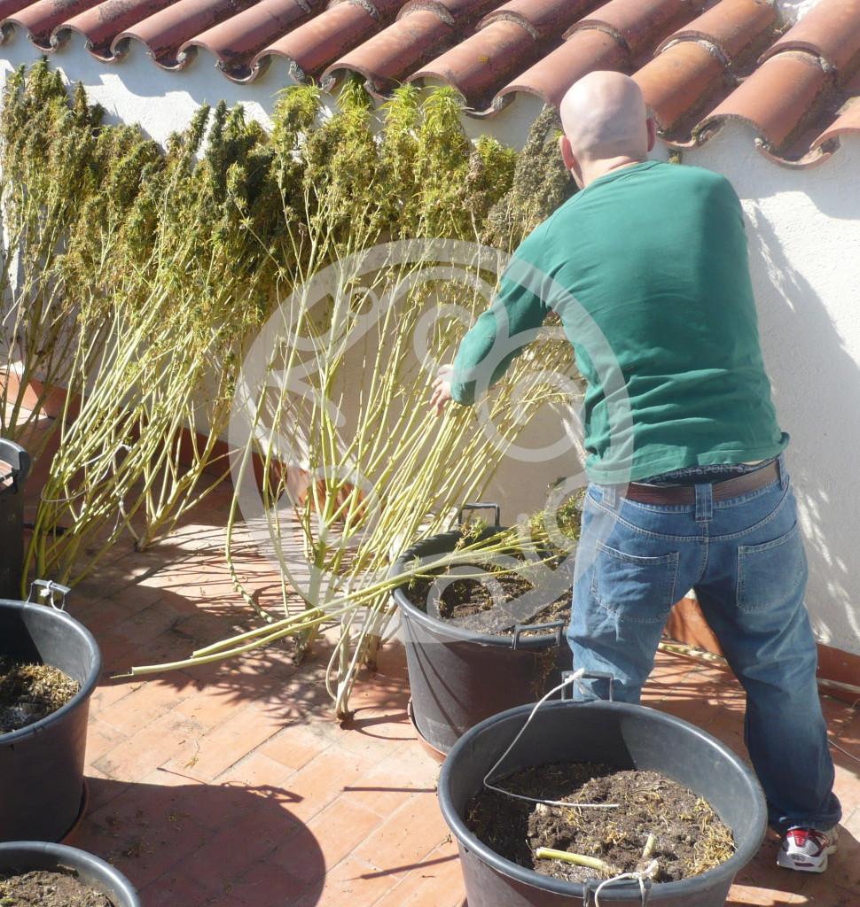 Come Seccare Le Piante quando raccogliere la marijuana | blog philosopher seeds