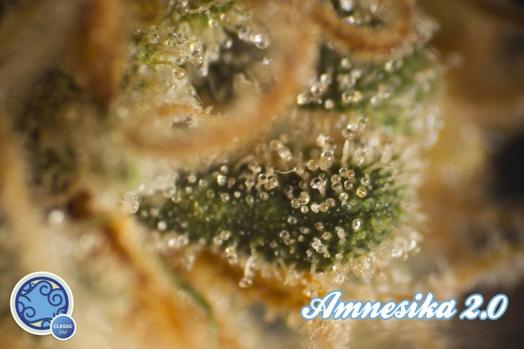 Tricomas de Amnesika 2.0 listos para la cosecha