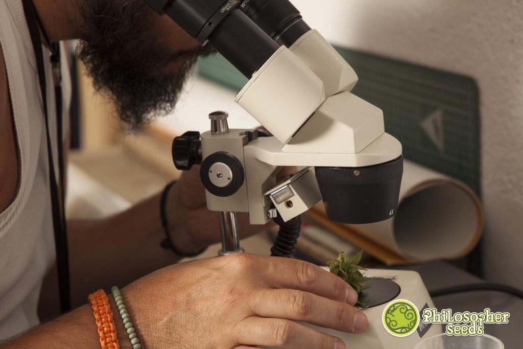 Observación de tricomas de SuperJuani antes de la cosecha