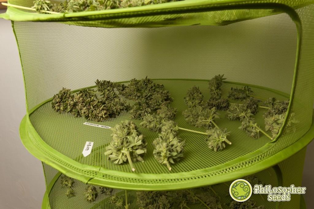 Essiccazione E Stagionatura Della Marijuana Blog Philosopher Seeds