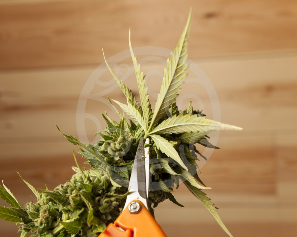 How To Trim Cannabis Blog Philosopher Seeds