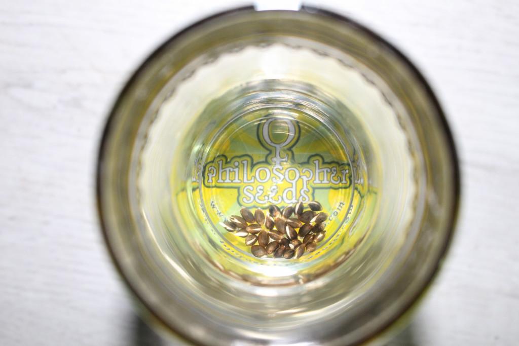 Marihuana Samen in einem Glas Wasser