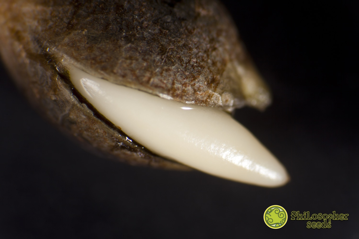 Germination de graines de cannabis