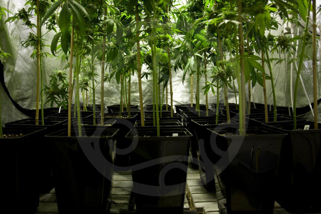 Wir beschneiden die unteren Zweige der Pflanzen, um das Licht besser auszunutzen