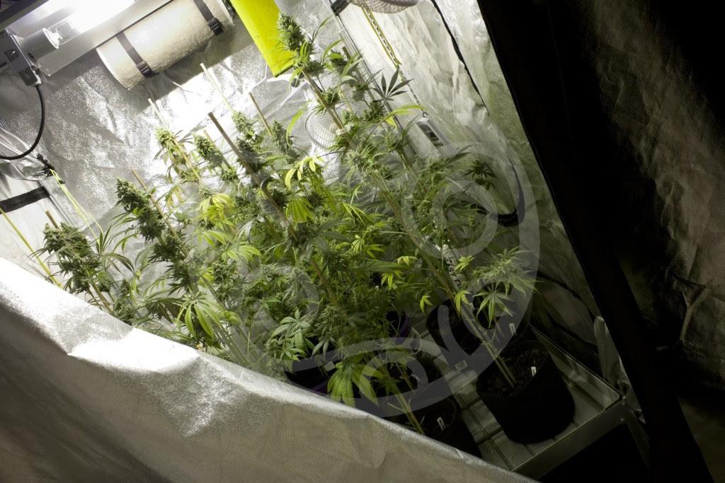 Marihuana-Anbau in der Growbox