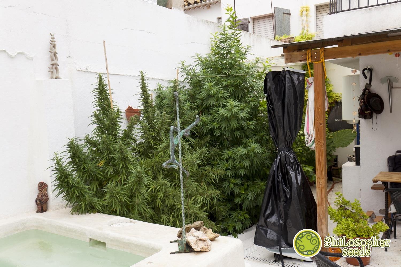 early maroc vari t de cannabis pr coce blog. Black Bedroom Furniture Sets. Home Design Ideas