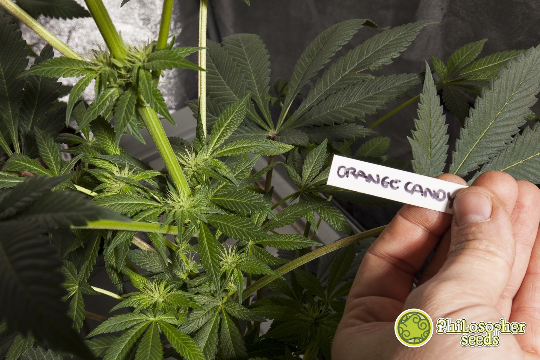 WEBOrange-Candy-Macro-Flor-28-12-12_0005