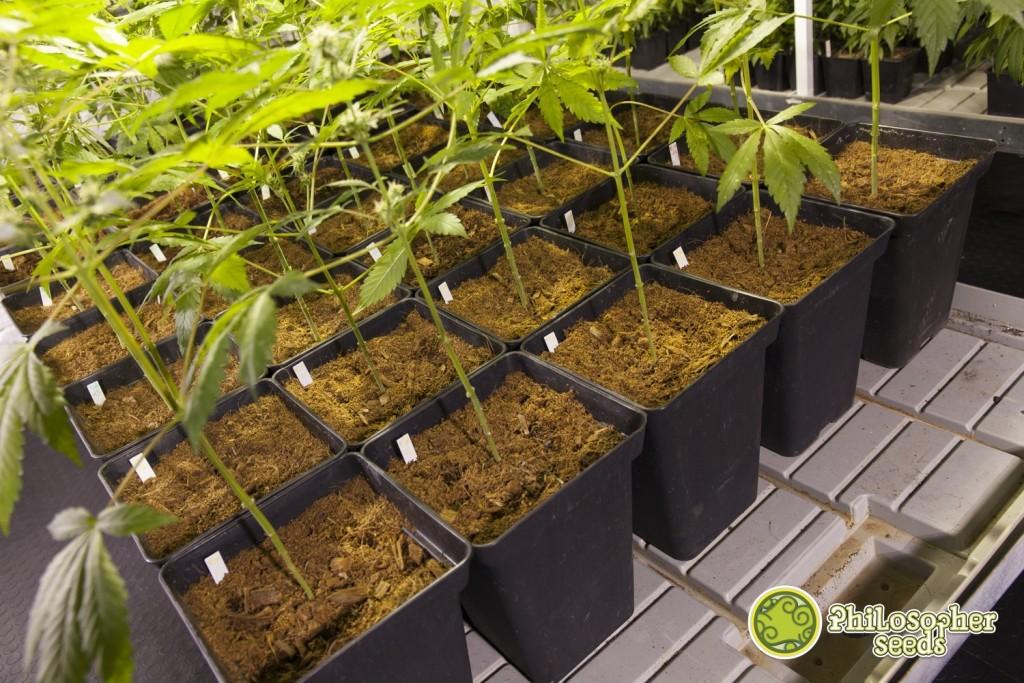 culture de cannabis en coco blog philosopher seeds. Black Bedroom Furniture Sets. Home Design Ideas