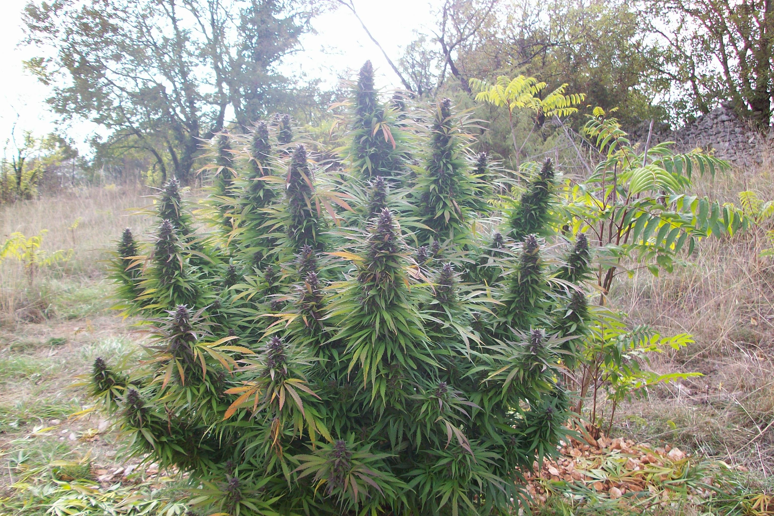 5 varieties of outdoor marijuana blog philosopher seeds for Cultiver cannabis exterieur