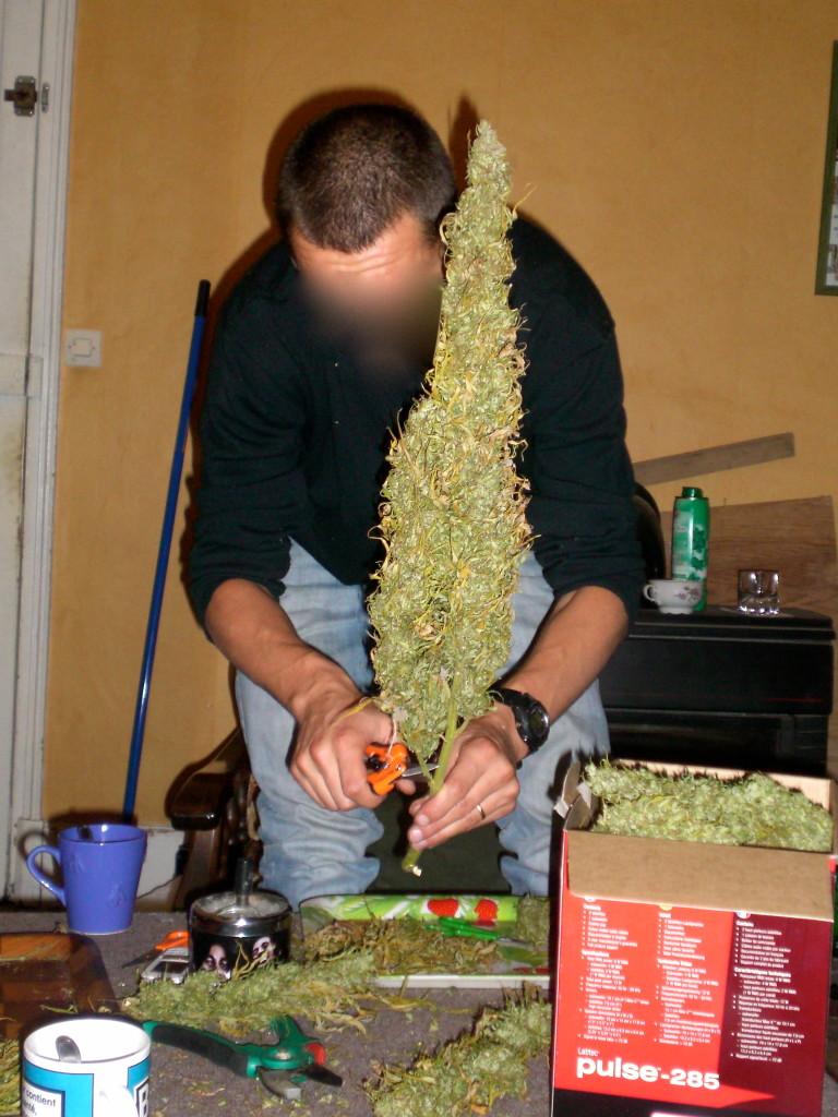 5 varieties of outdoor marijuana blog philosopher seeds for Cannabis exterieur