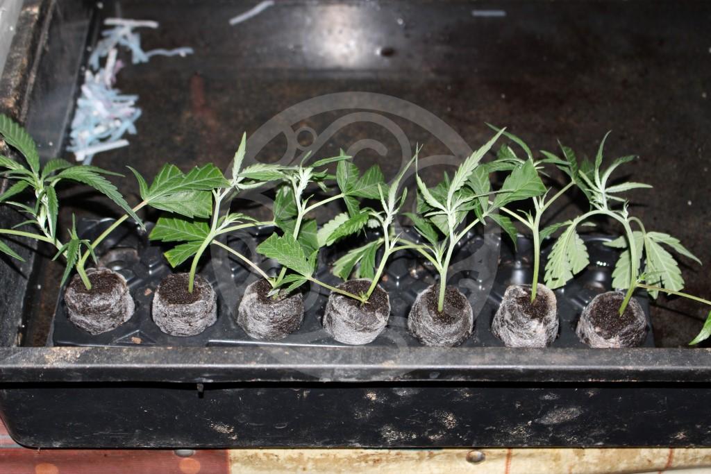 Come Fare Talee Di Marijuana Blog Philosopher Seeds