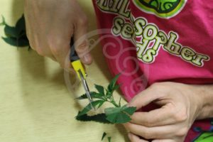 Eliminación de los nudos  y corte de las hojas