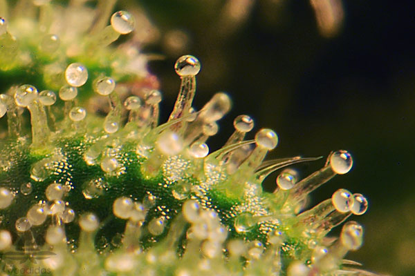 Trichomes-are-milky-white-.jpg