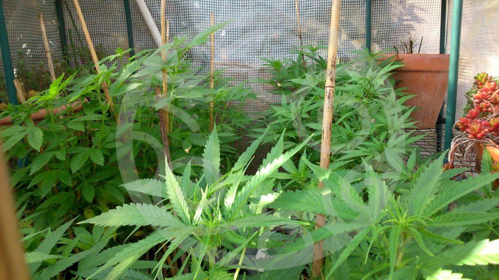 Culture intensive de cannabis en ext rieur blog for Culture cannabis exterieur hiver
