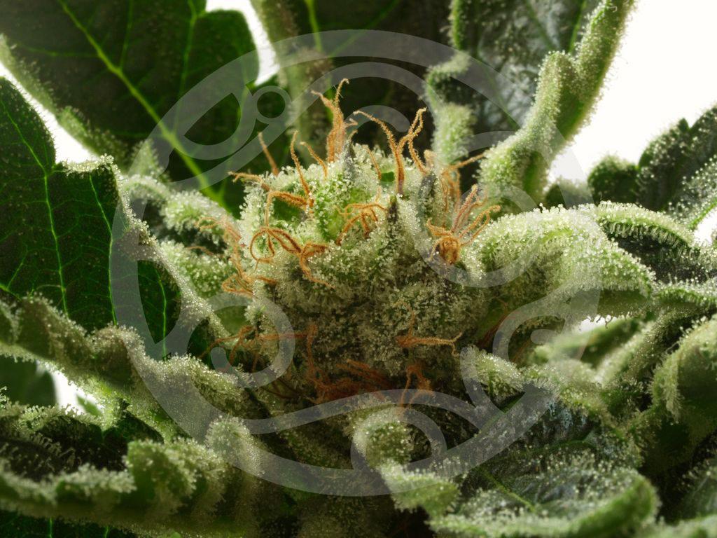 la temp rature de l eau dans la culture de cannabis blog philosopher seeds. Black Bedroom Furniture Sets. Home Design Ideas