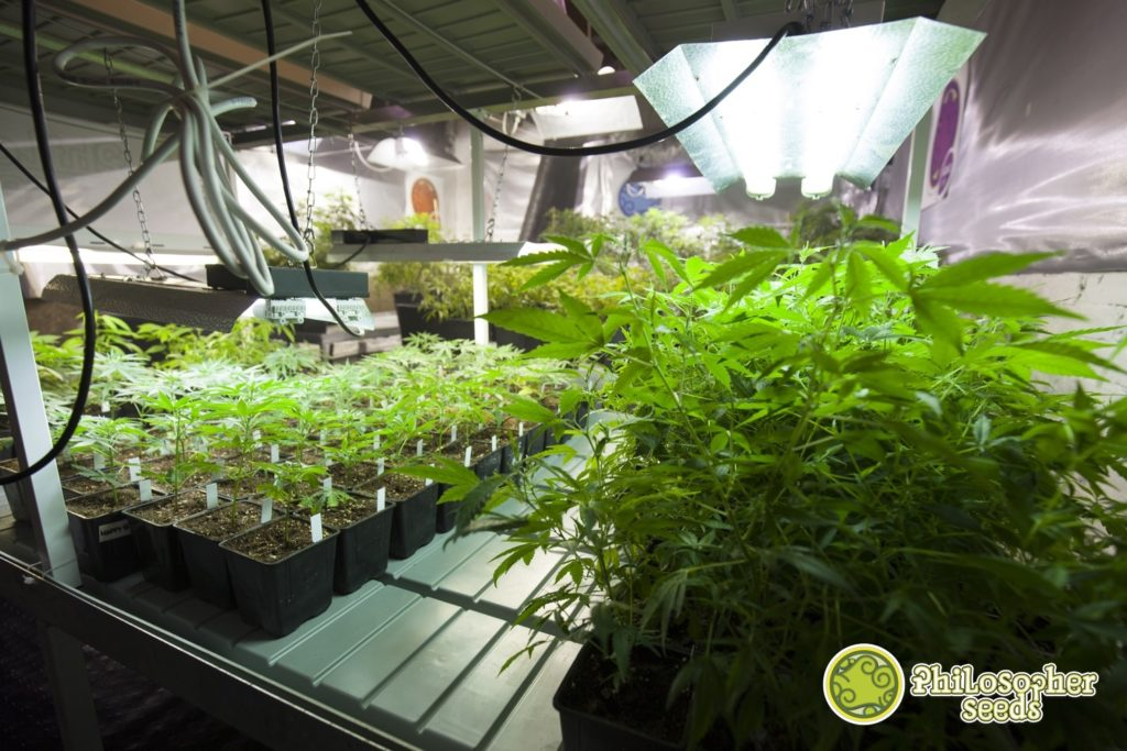 Grow Lights for indoor cannabis cultivation | Blog Philosopher Seeds