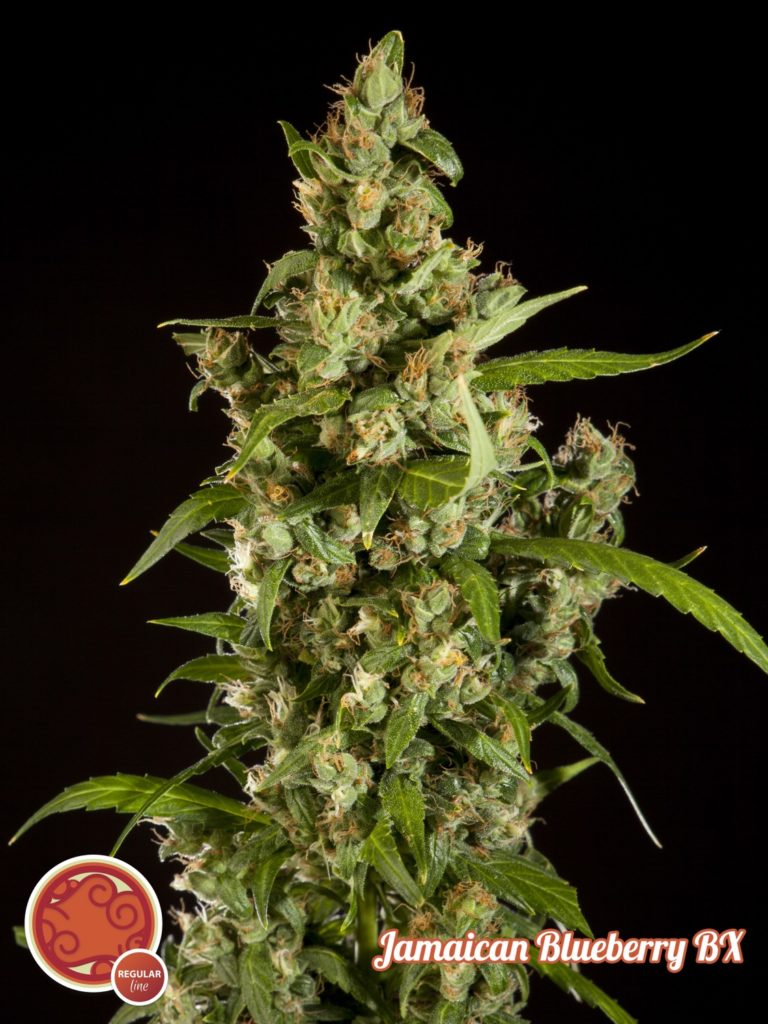 Jamaican Blueberry BX de Philosopher Seeds