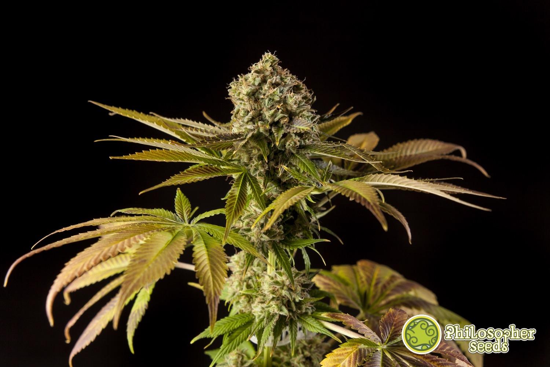 Come eliminare l'odore della coltivazione della cannabis