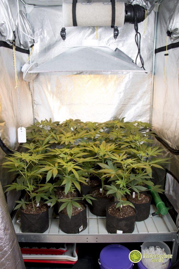 En cultivos de interior suelen usarse filtros de carbono como el que véis sobre el reflector