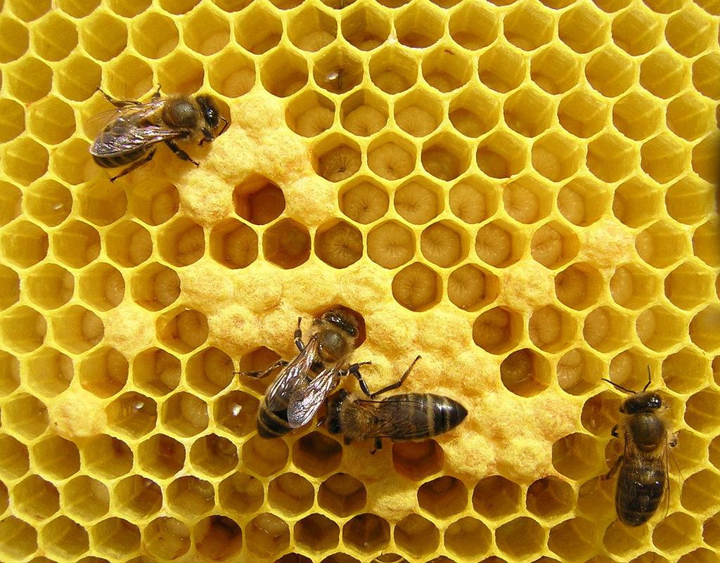Las abejas producen propóleo para sellar sus colmenas