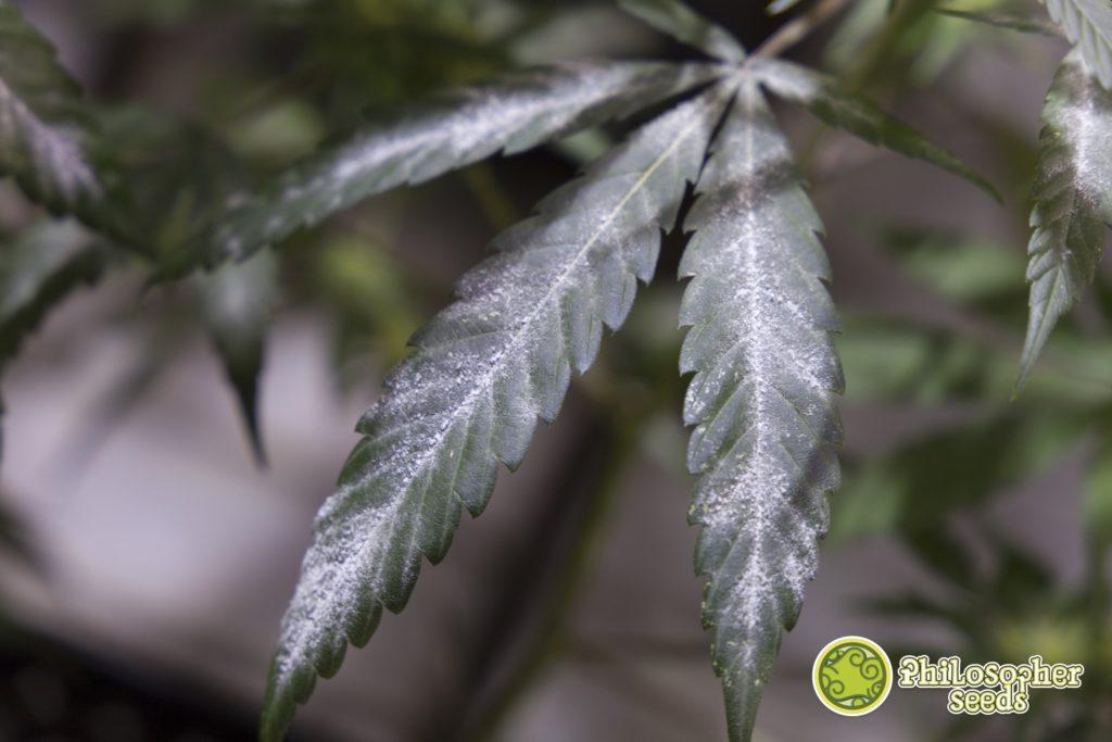 Hoja de cannabis con oídio