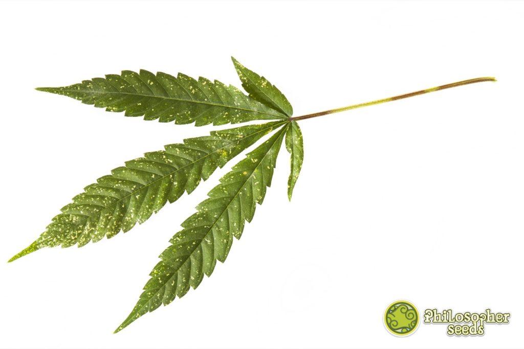 Manchas en una hoja de cannabis típicas de una plaga de trips