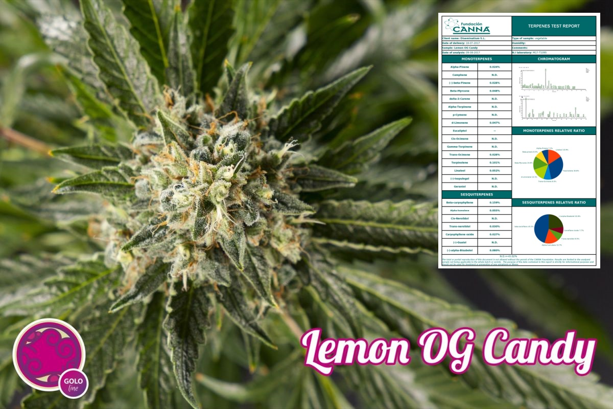 Cannabinoide und Terpene Analysen der Lemon OG Candy