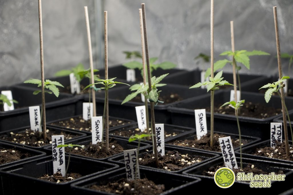 Different varieties of cannabis in early stages of vegetative growth