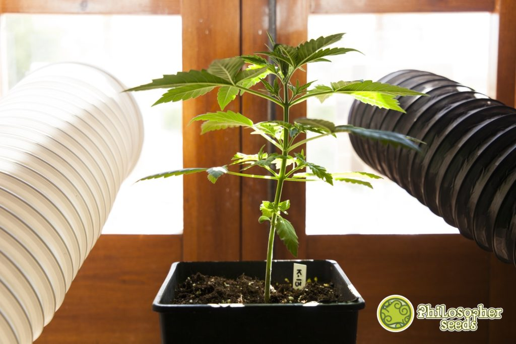 Cannabis plants develop exponentially in the growth phase, the more plant mass created, the more growth is accelerated