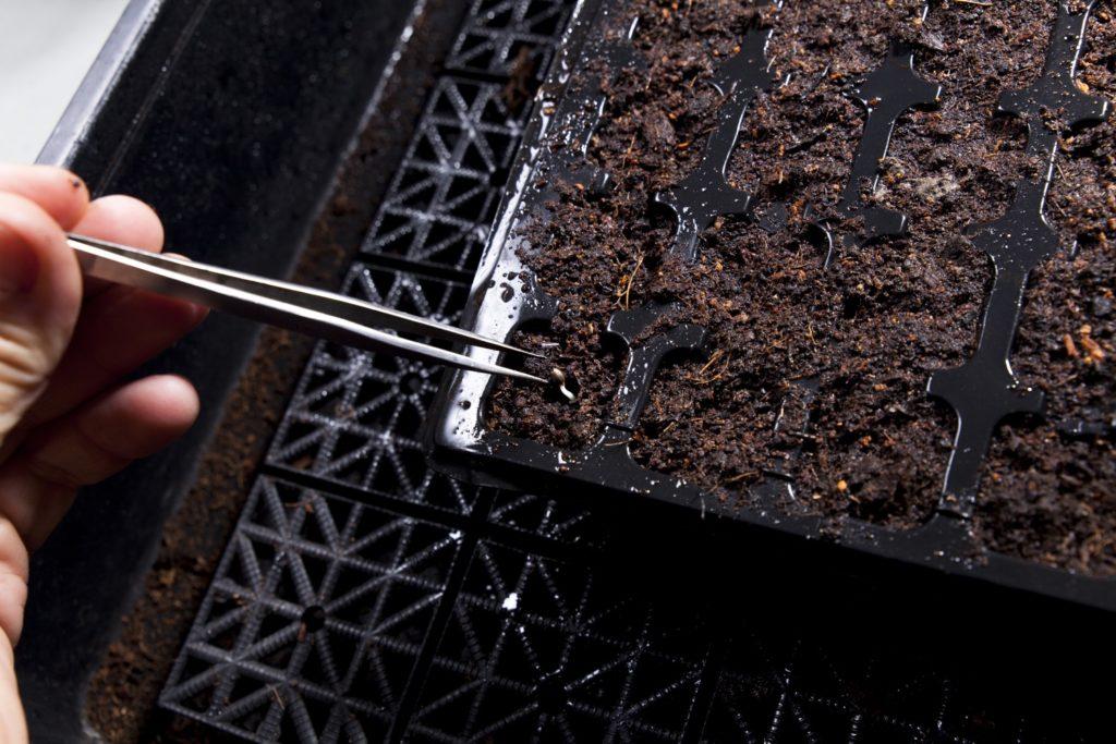 Debemos plantar la semilla con la raíz hacia abajo