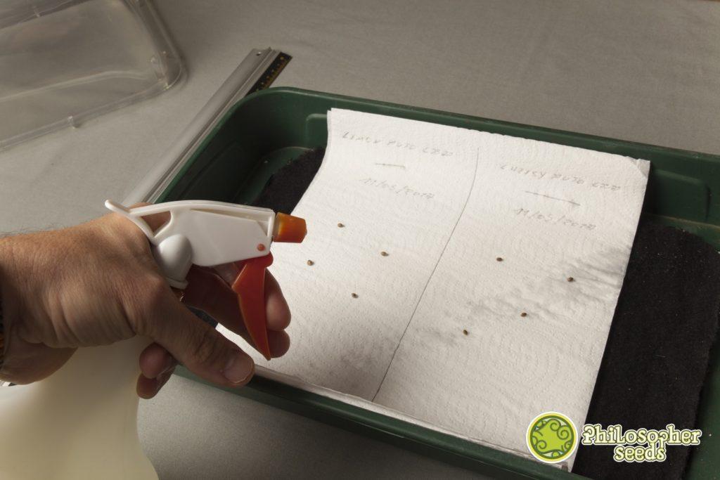 El papel de cocina no debe secarse jamás una vez comience la germinación