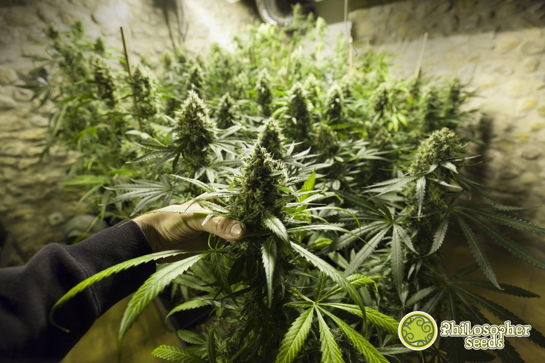 Почему марихуана не растет марихуана ст линда скачать